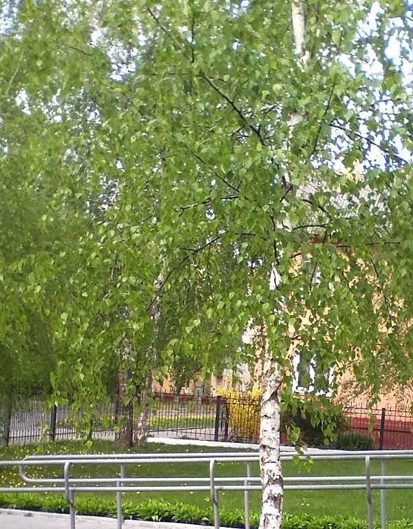 Chernigovskaya berezka