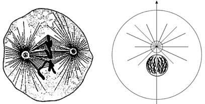 Tsentrosoma pod mikroskopom